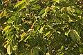 Syzygium hemisphericum വെള്ളഞാറ, Neeliyar Kottam 02.jpg