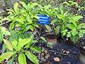 Syzygium travancoricum-2-JNTBGRI-kerala-India.jpg