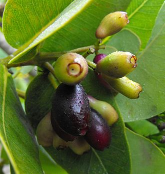 Syzygium cordatum - Image: Syzygiumcordatum 1