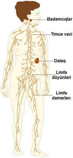 TE-Lymphatic system diagram az.jpg