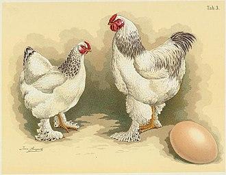 Brahma chicken - Light Brahma cock and hen, illustration from  Jean Bungartz, Geflügel-Album, 1885