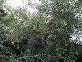 Tabernaemontana catharinensis (3).JPG