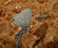 Tailless Lineblue (Prosotas dubiosa indica) in Talakona forest, AP W IMG 8483.jpg