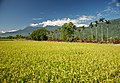 Taiwan 2009 HuaLien Rice Paddy at Foot of Mountain FRD 6130 Book Back Cover.jpg