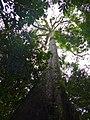 Tapang Tree (Koompassia excelsa) (15339788079).jpg