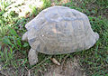 Testudo graeca 40 old 1 female.jpg
