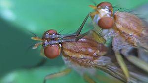 File:Tetanocera hyalipennis - 2013-08-11.webm