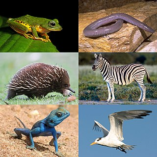 Tetrapod Superclass of the first four-limbed vertebrates and their descendants