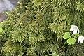 Thamnobryum alopecurum (b, 144753-474748) 4288.jpg