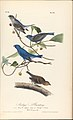 The Birds of America from Drawings Made in the United States MET DP245258.jpg