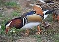 The Mandarin Duck of St. Ferdinand Park (44854305555).jpg