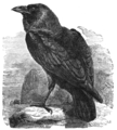 The Natural History of Selborne, and the Naturalist's Calendar - The Raven.png