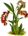 The Orchid Album-02-0018-0053-Ada aurantica-crop.png