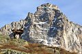 The chamois and the Torre del Gran San Pietro (10399314045).jpg