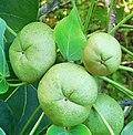 Thespesia populnea(Malvaceae ).jpg