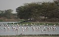 Thol Lake - Gujarat, India - Flickr - Emmanuel Dyan (9).jpg
