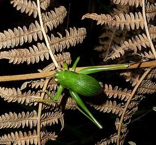 <i>Thoracistus</i> Genus of Shield-back catydid