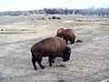 Three bisons roaming the countryside (3290105547).jpg