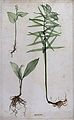 Three liliaceous flowering plants, including lily of the val Wellcome V0043937.jpg