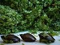 Three snails - Flickr - Schnittke.jpg