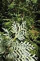 Thuja koraiensis PAN foliage 3.JPG