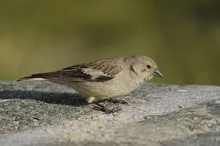 Black-winged snowfinch species of bird