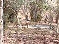 Tiger image31.jpg