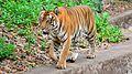 Tiger in Trivandrum Zoo.jpg