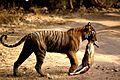 Tigress at Ranthambhore.jpg