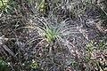 Tillandsia utriculata (gaint airplant) 1.jpg