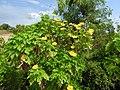 Tithonia diversifoliajoggers park-andaman-India.jpg