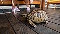 Tortoise in Mersin (02).jpg