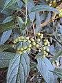 Tournefortia heyneana 09.JPG