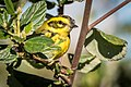 Townsend's Warbler (31250888952).jpg