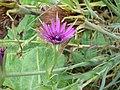 Tragopogon porrifolius 1.jpg