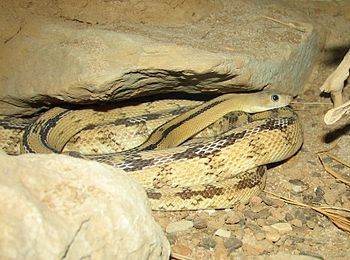 English: Trans-Pecos rat snake (Bogertophis su...