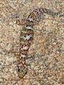 Transvaal flat gecko (Afroedura transvaalica).jpg