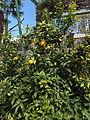 Trauttmansdorff gardens - Citrus x limon Spatafora 01.JPG