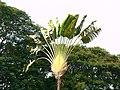 Traveler's palm (421282562).jpg