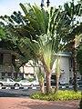 Traveller's Palm.JPG