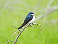 Tree Swallow at Port Louisa National Wildlife Refuge (34577192545).jpg