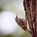 Treecreeper (34052143403).jpg