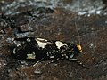 Triaxomera fulvimitrella - Four-spotted clothes moth (41240091501).jpg