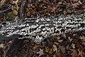 Trichaptum biforme, Gatineau Park (44607458944).jpg
