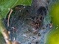 Trichterspinne Eratigena atrica-4921.jpg