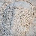 Trilobite in the sand 6 (46789950631).jpg