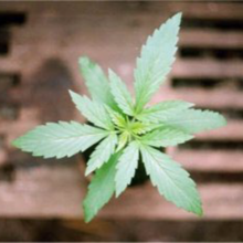 Triple leaf cannabis plant.png