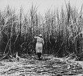 Tropenmuseum Royal Tropical Institute Objectnumber 20007174 Het oogsten van suikerriet op plantag.jpg