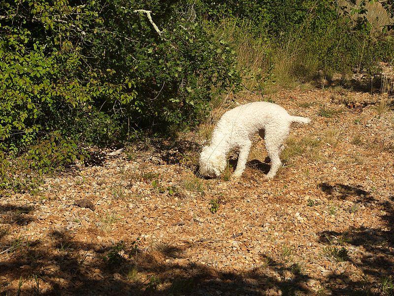 Truffière de Lalbenque: un chien de race Lagotto Romagnolo en plein cavage.