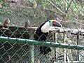 Tucan Parque Zoológico Chorros De Milla.JPG